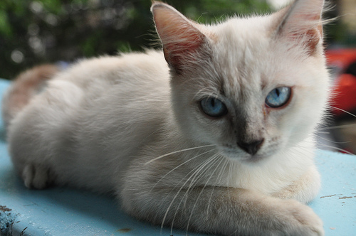Choosing a Cat Breed