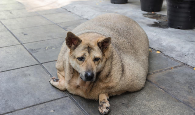 Is your dog overweight? The dangers of obesity in canines