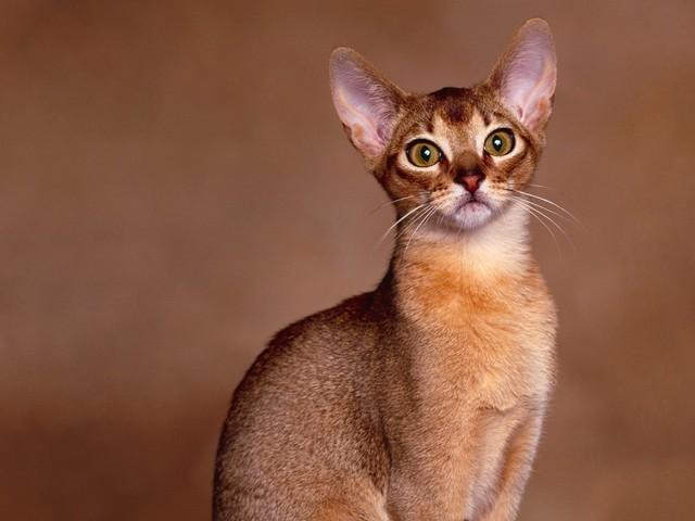 Abyssinian Cat Characteristics