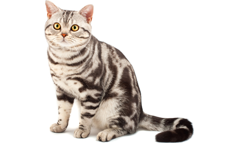 American shorthair lap cat