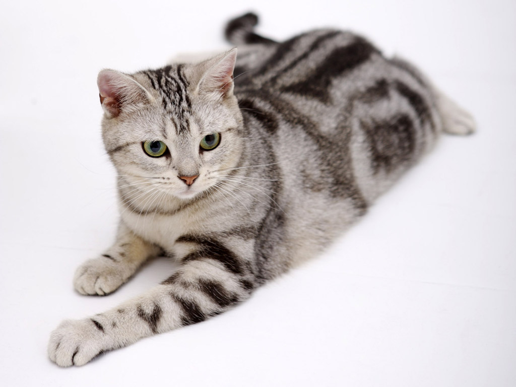 American Shorthair History Personality Appearance Health and