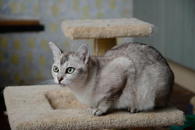 Asian Cat Breeds 81