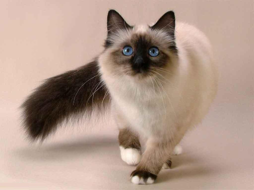 Balinese Cat History, Personality, Appearance, Health and Pictures
