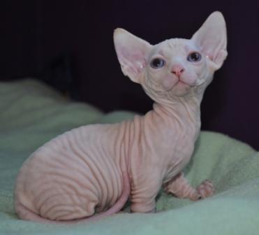 kittens for sale denver