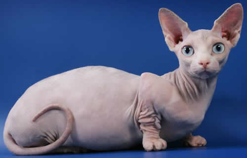 Bambino Cat History Personality Appearance Health And Pictures