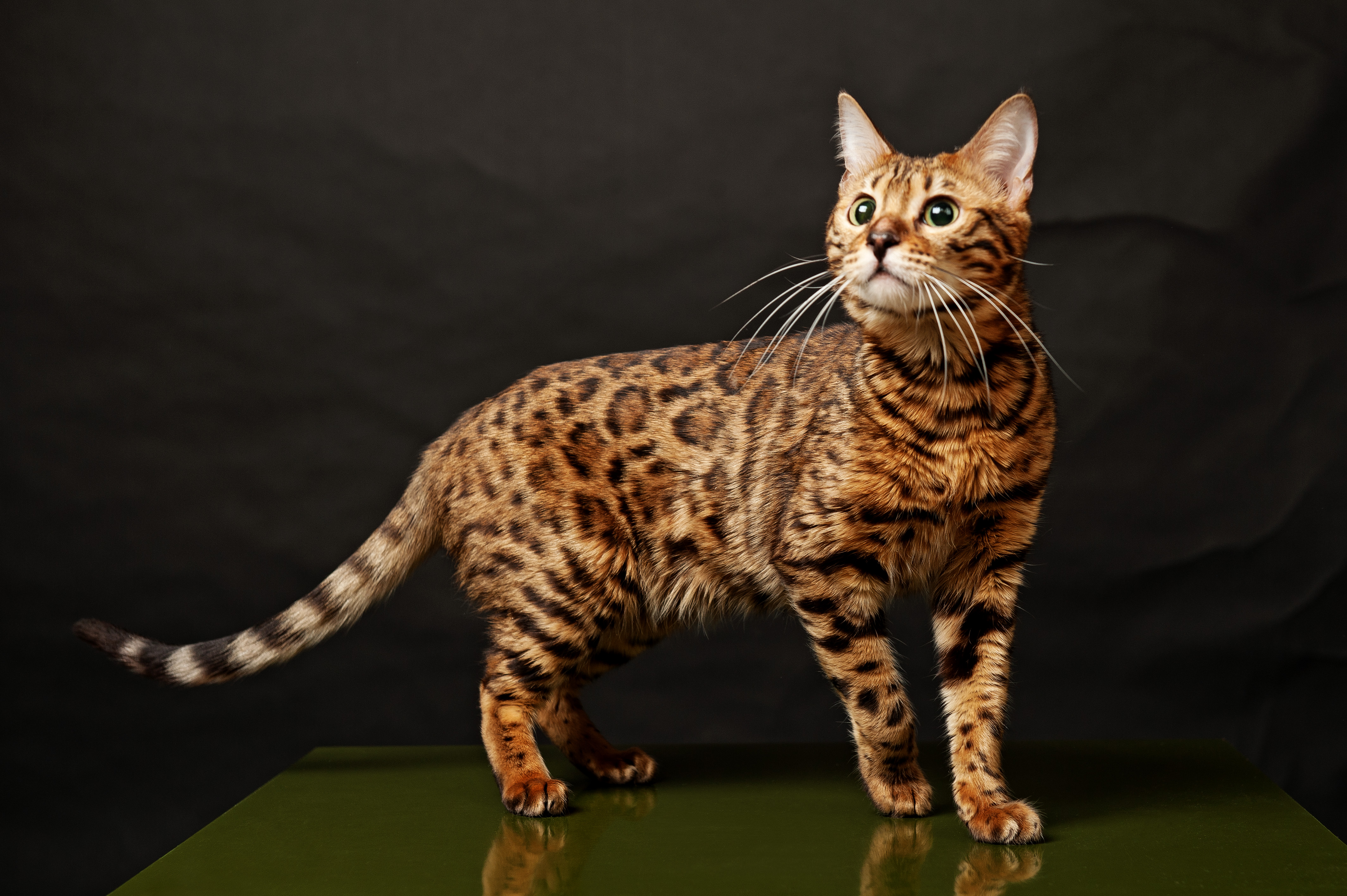 Bengal Cat History, Personality, Appearance, Health and Pictures