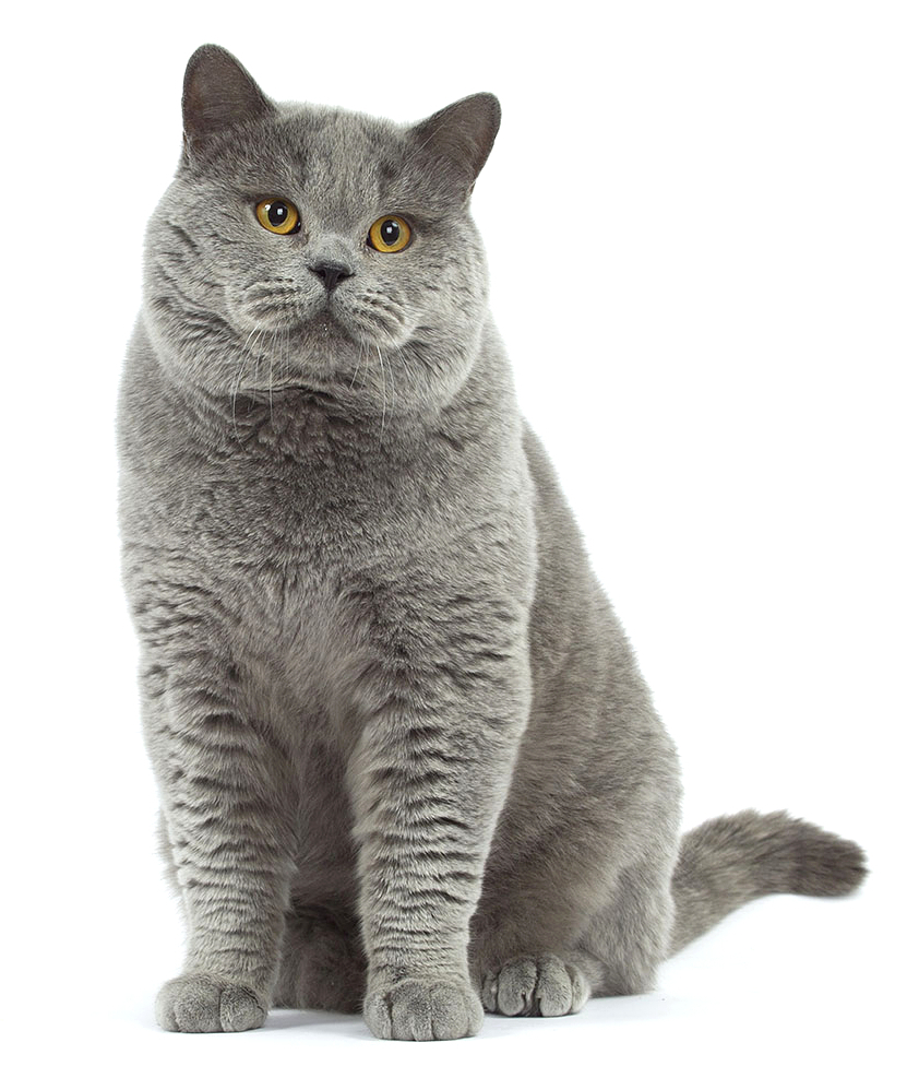 British Shorthair History Personality Appearance Health and
