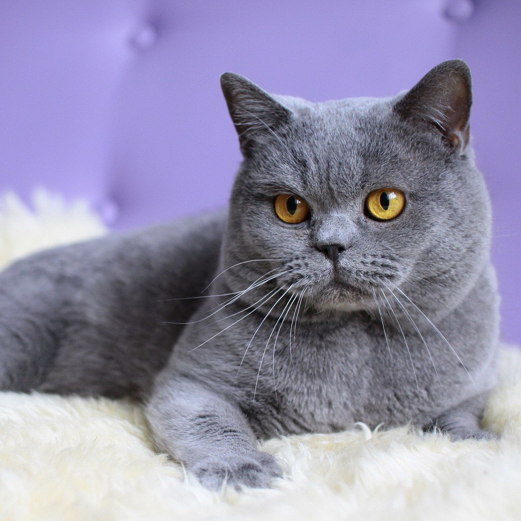 British Shorthair History Personality Appearance Health