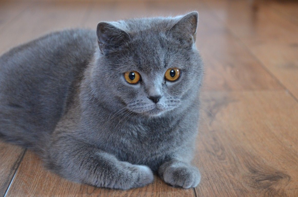 British Shorthair History Personality Appearance Health And Pictures