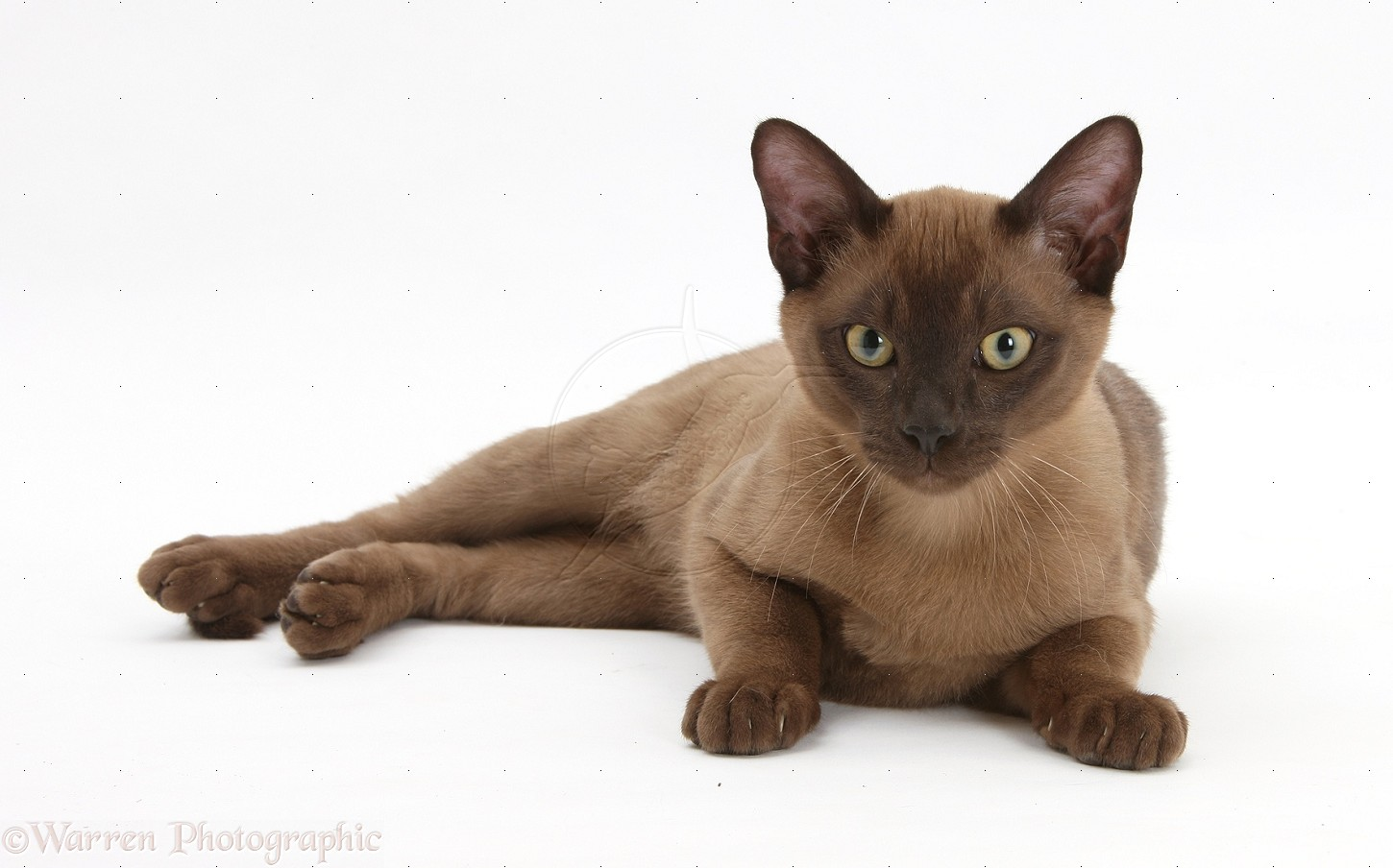 Burmese Cat History Personality Appearance Health and