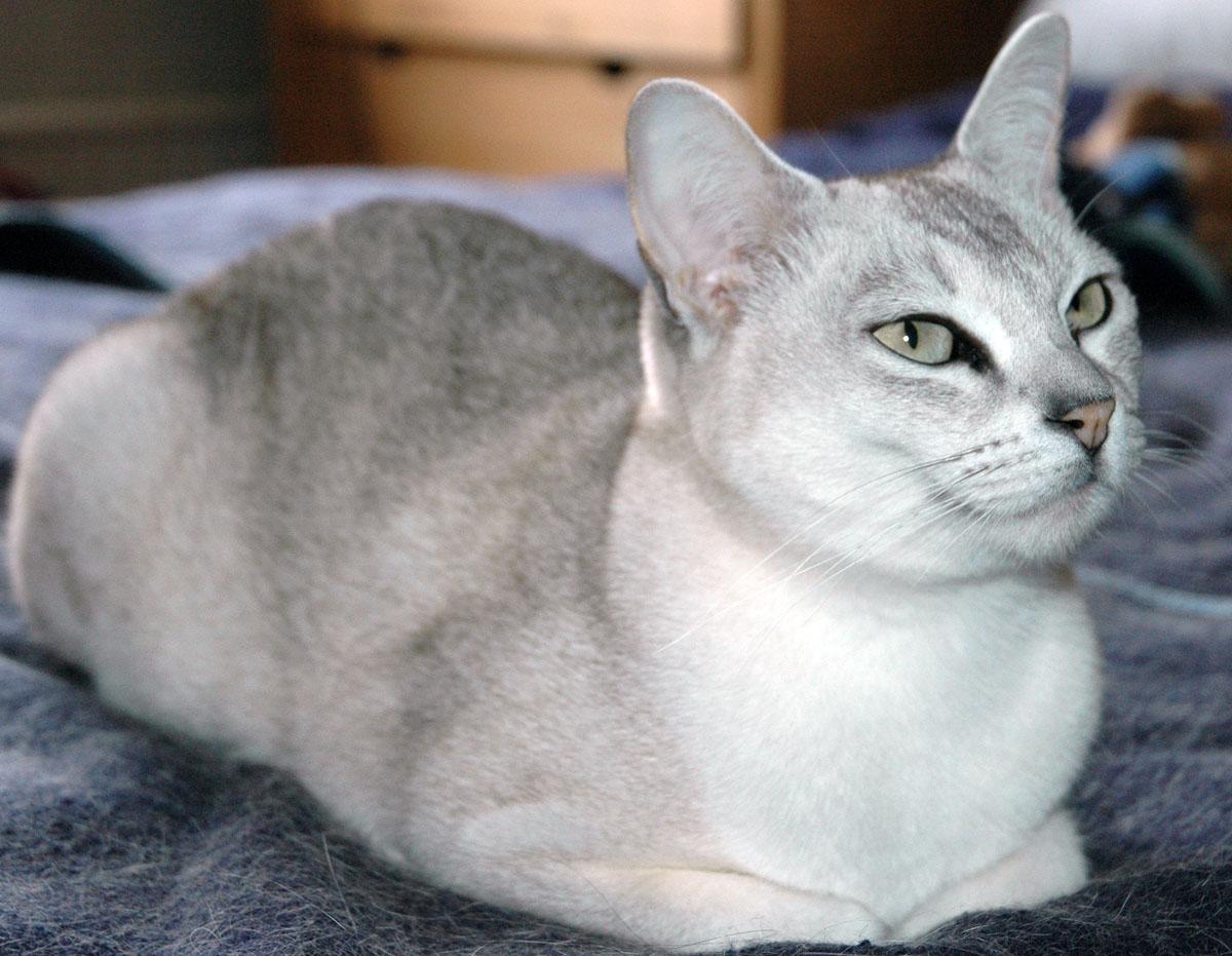 A Bengal Cats Personality Burmilla History, Pers...