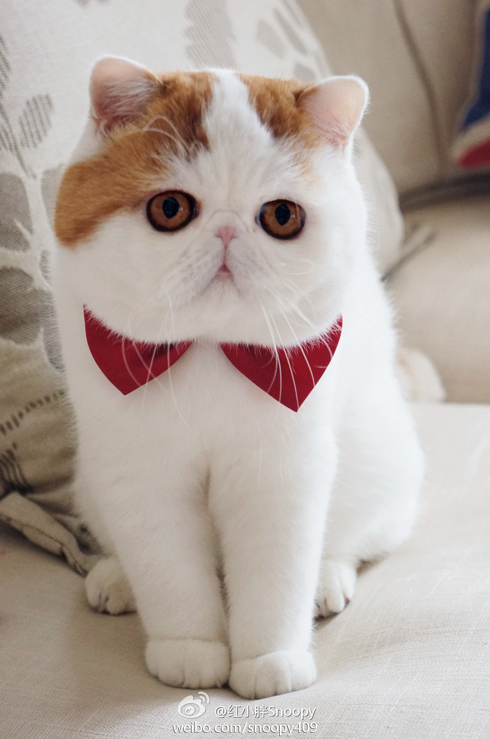 Exotic Shorthair History, Personality, Appearance, Health and Pictures