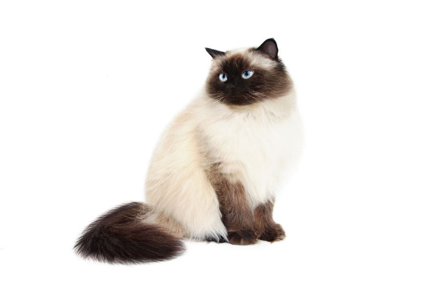 White Himalayan Cat Png