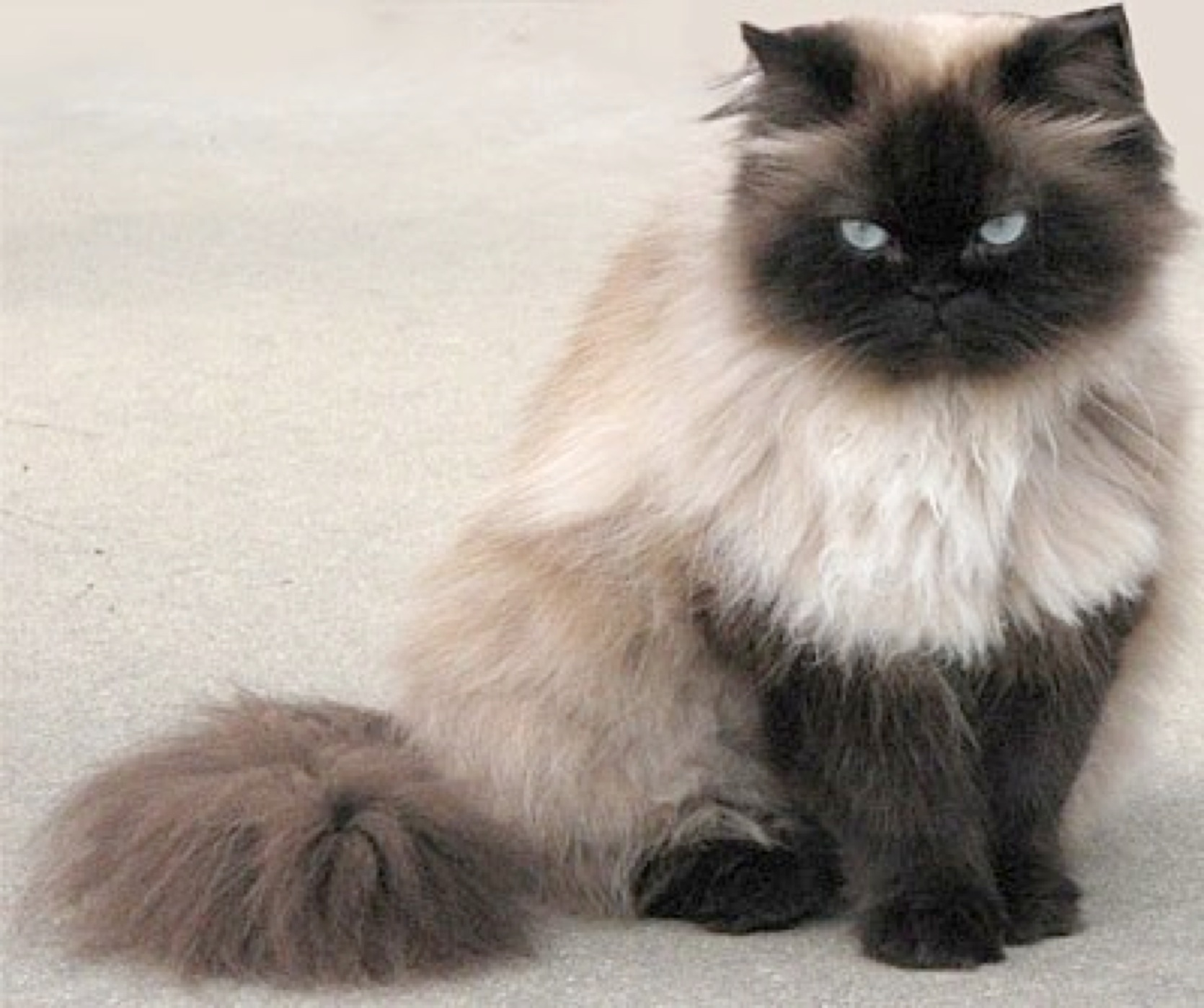 himalayan cat history personality appearance health and pictures