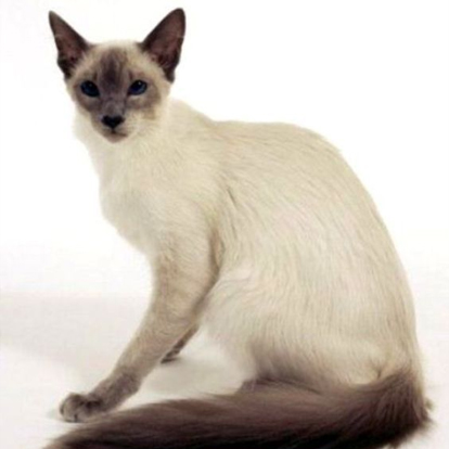Javanese Cat History, Personality, Appearance, Health and ...