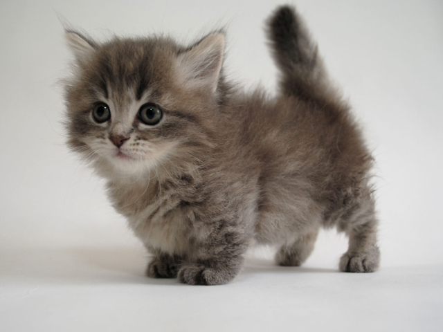 Baby Munchkin Cat For Sale