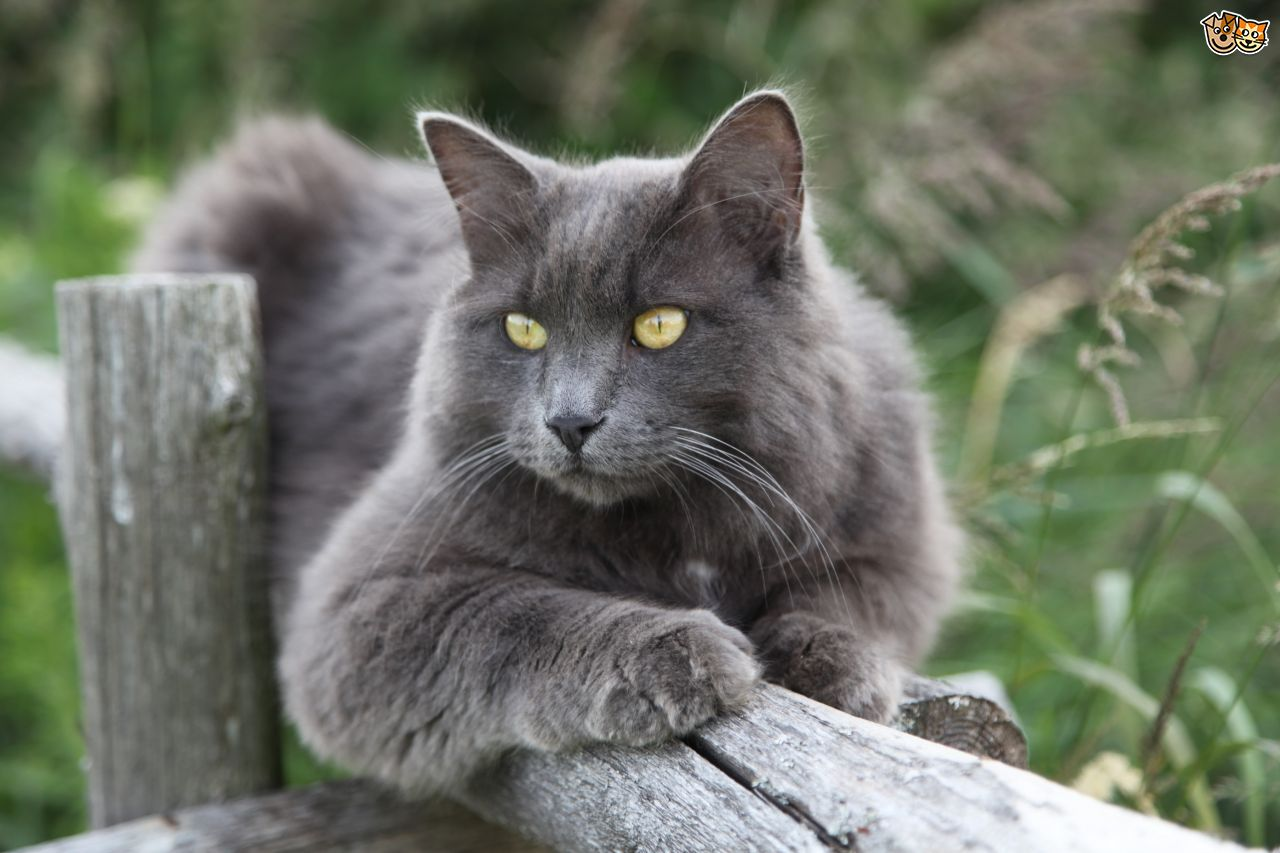 Nebelung History Personality Appearance Health And Pictures