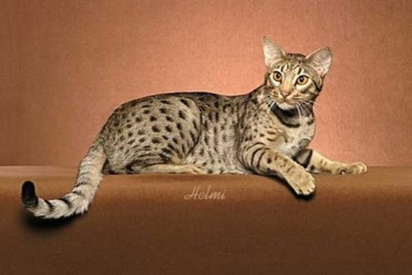 ocicat history personality appearance health and pictures