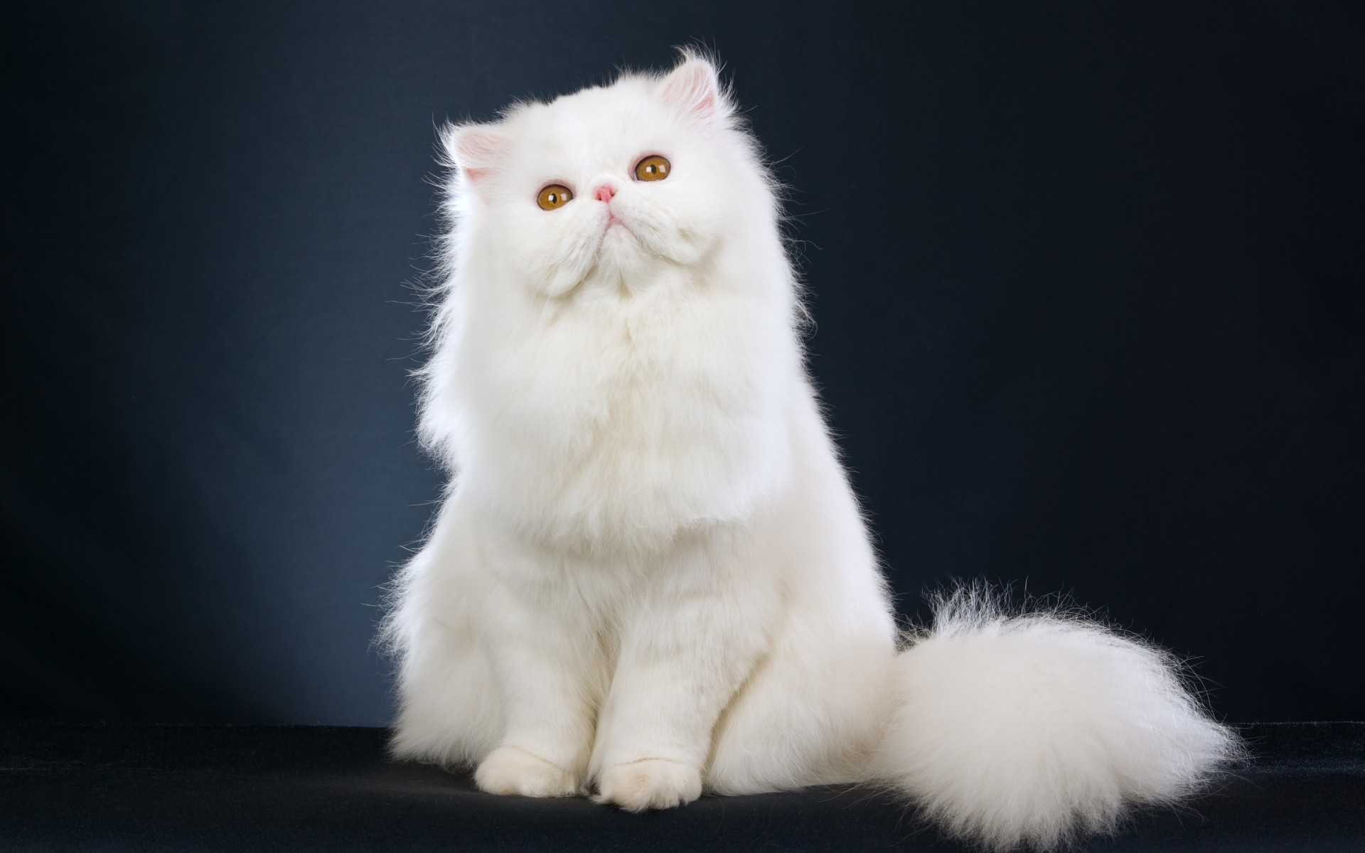 Persian Cat History, Personality, Appearance, Health and ...