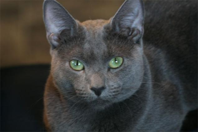 Russian Blue History, Personality, Appearance, Health and ...