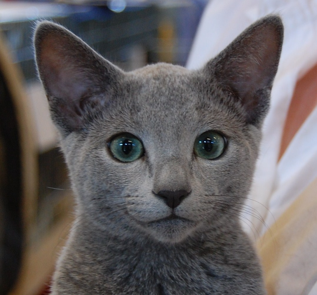 Russian Blue History Personality Appearance Health and