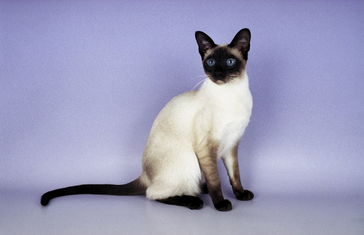 Siamese Cat History Personality Appearance Health and