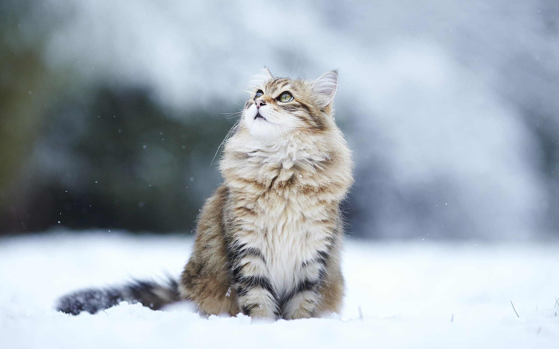 Siberian Cat History Personality Appearance Health and