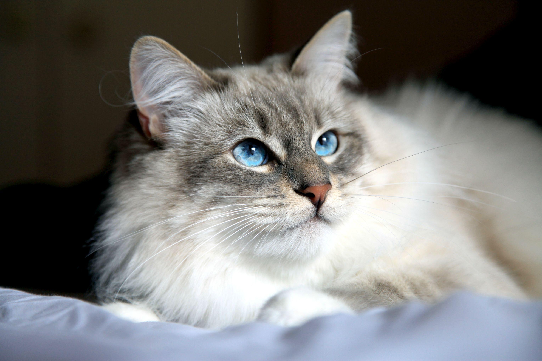 97c0282fc9 Siberian Cat History