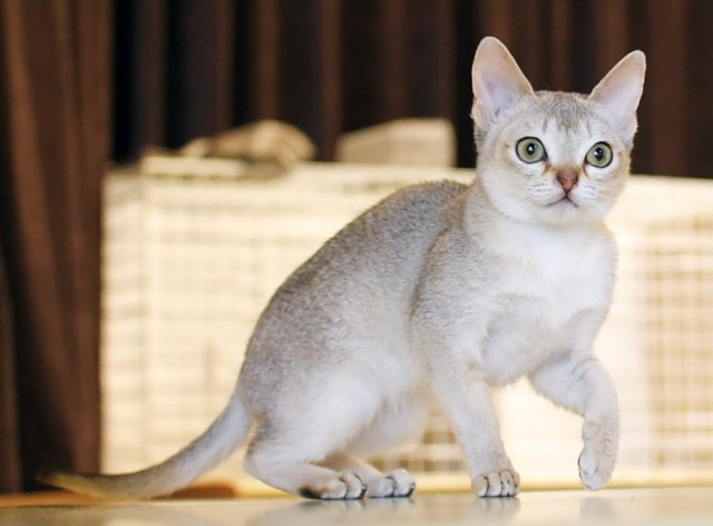 Singapura Cat History Personality Appearance Health And