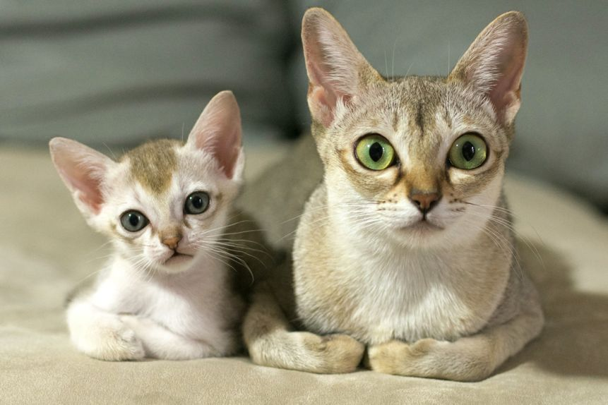 Singapura Cat Breed Information, Pictures, Characteristics & Facts