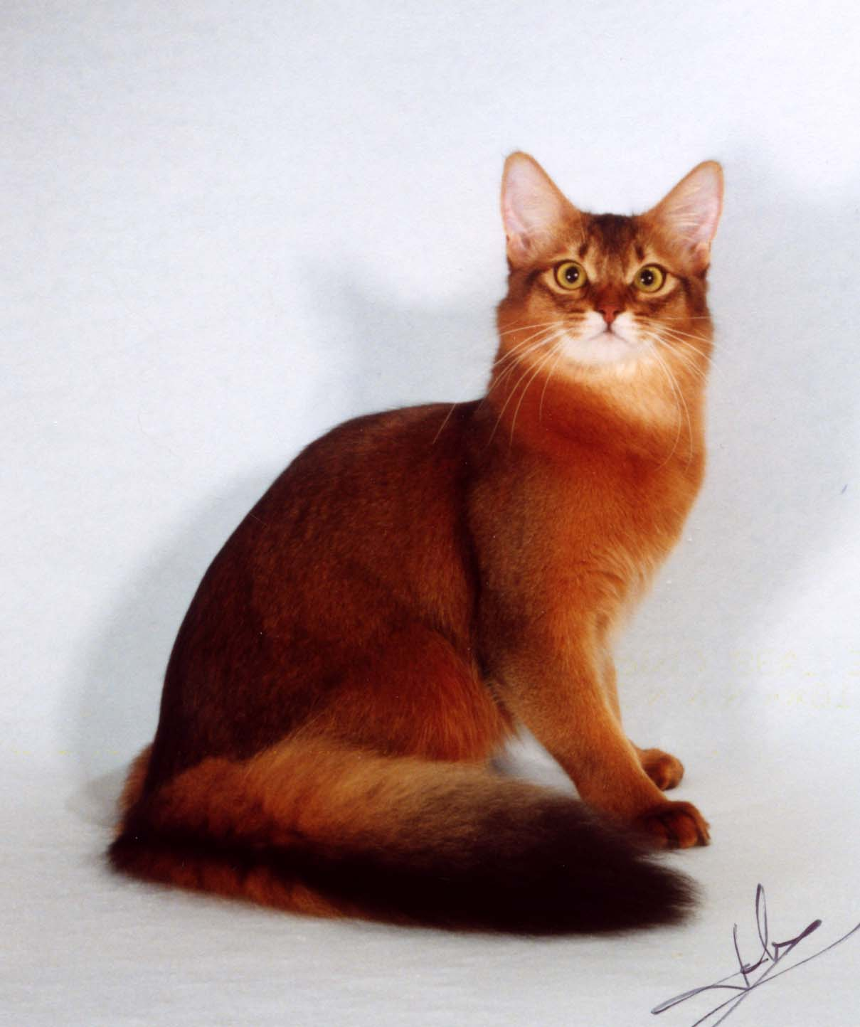 Somali Cat History Personality Appearance Health And