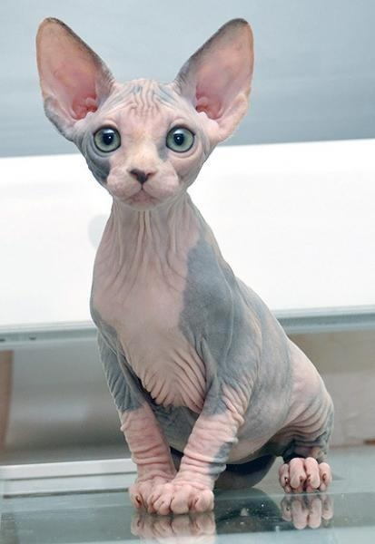 Sphynx Cat History Personality Appearance Health And Pictures