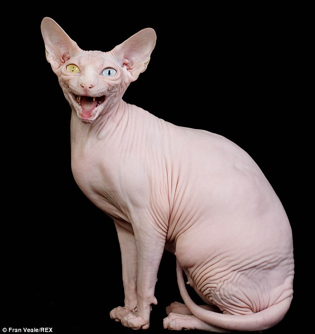 sphynx-cat-05.jpg