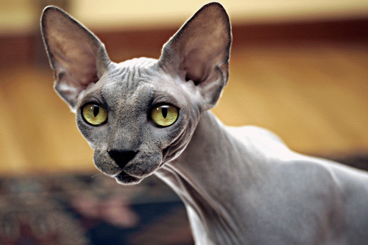 Sphynx Cat History Personality Appearance Health and