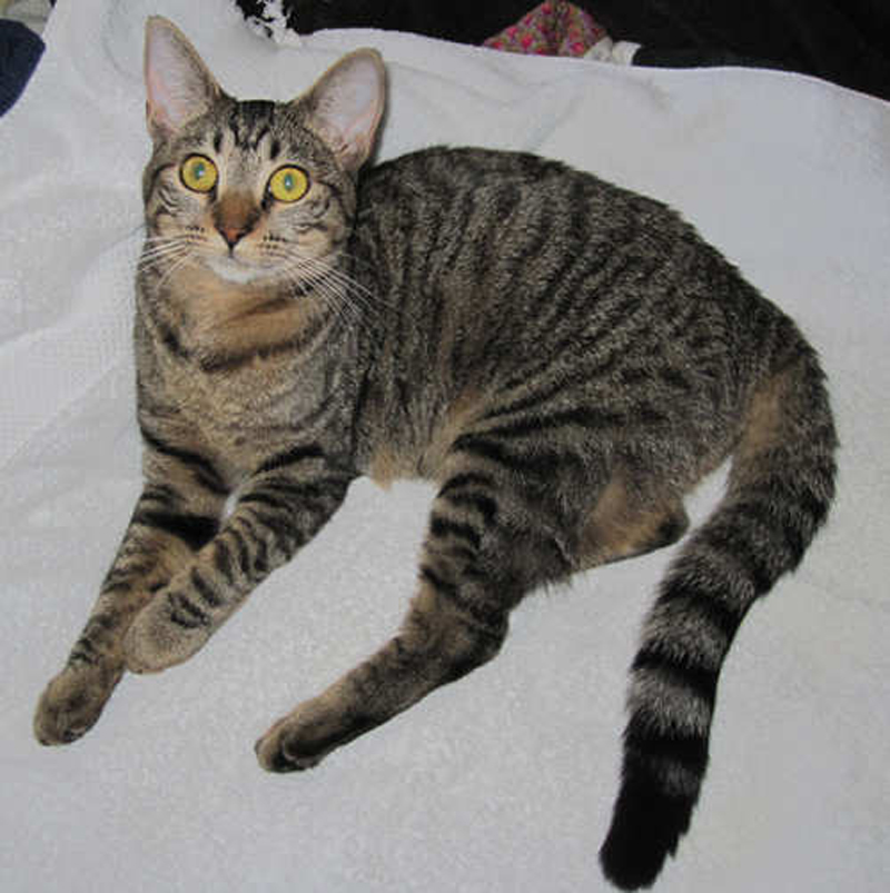 Grey Cat With Black Lines Breeds