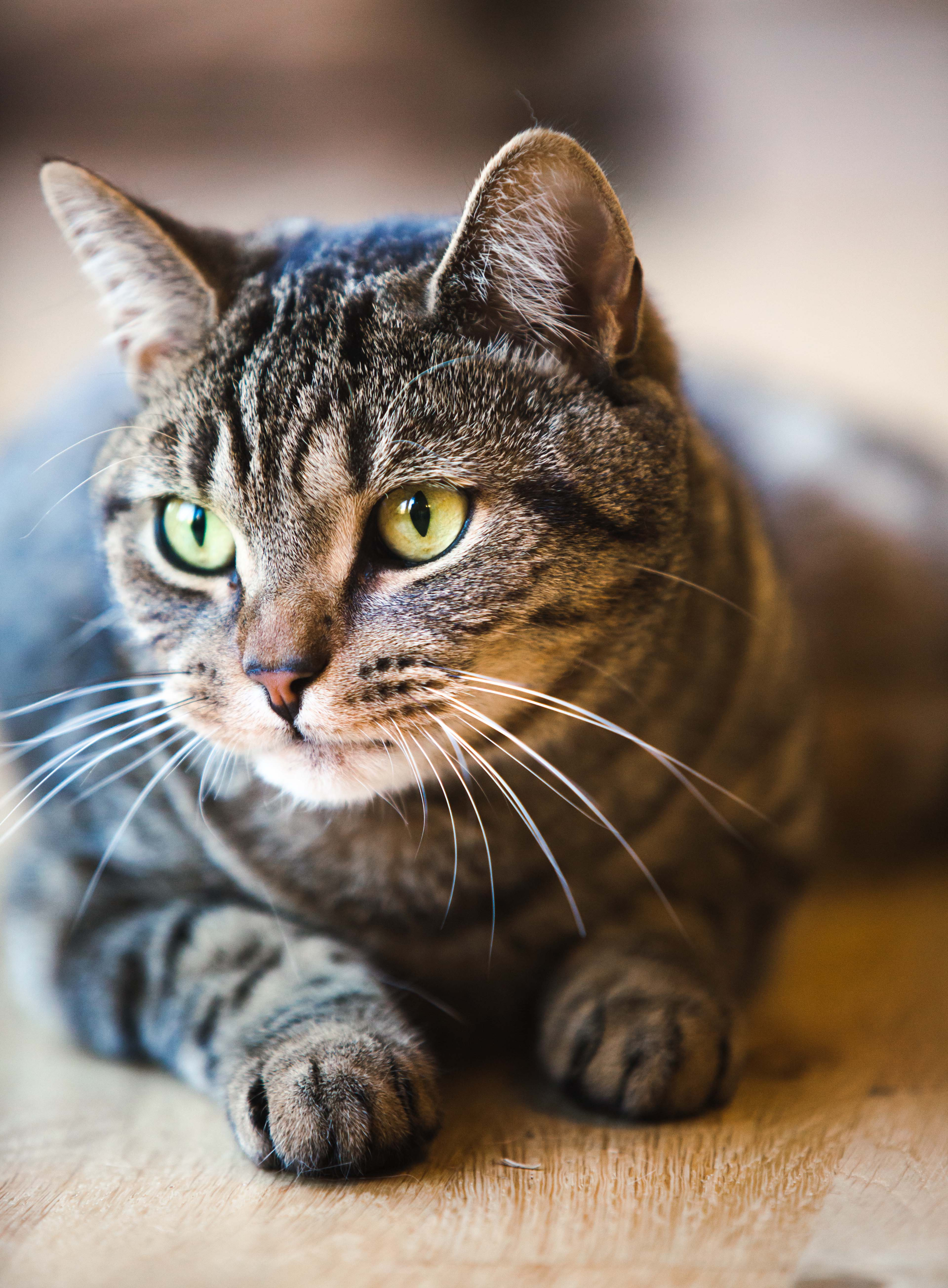 Tabby Cat: Cat Breed Profile