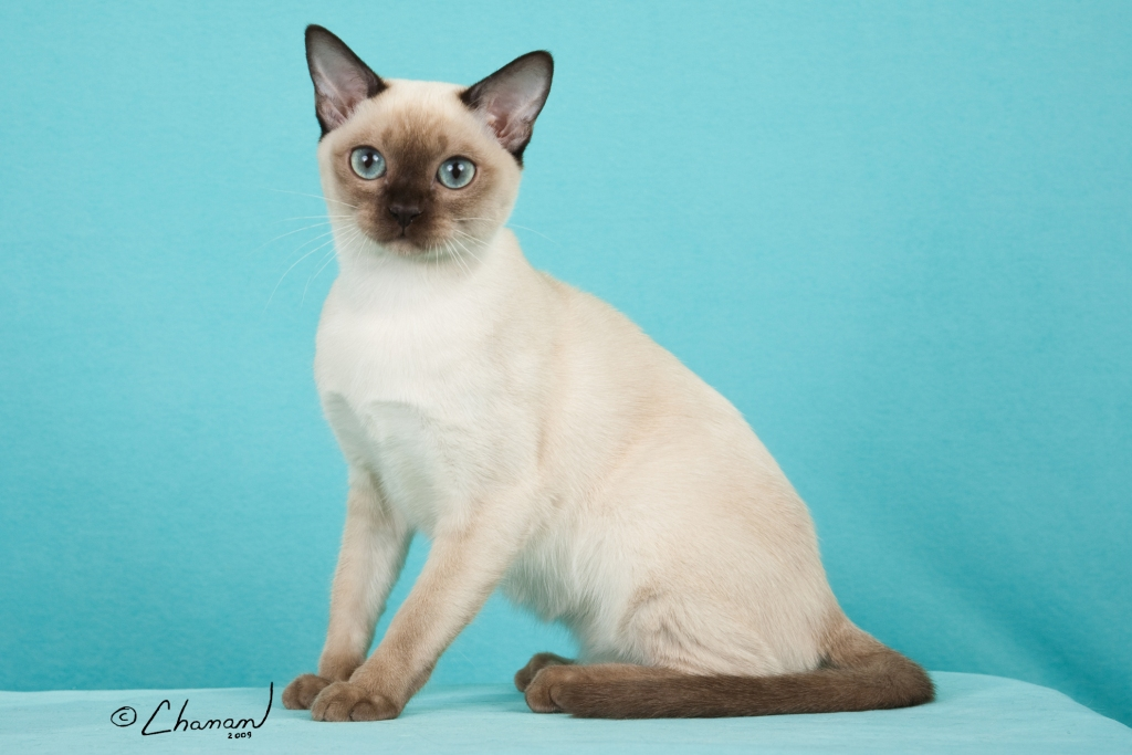 Tonkinese History, Personality, Appearance, Health and Pictures