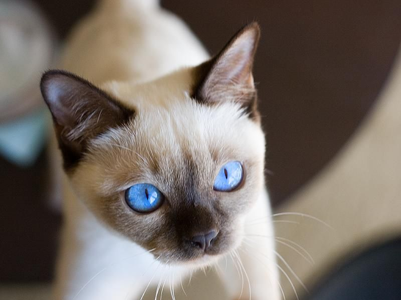 Tonkinese History Personality Appearance Health And