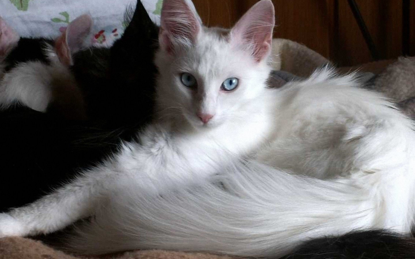 Turkish Angora History Personality Appearance Health And Pictures