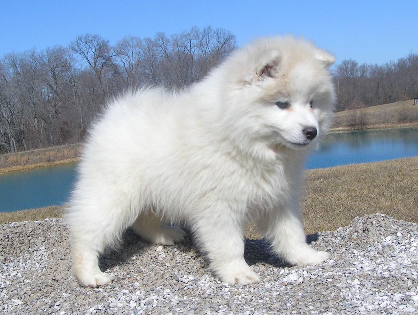 American Eskimo Dog Toy Adult | www.galleryhip.com - The Hippest Pics