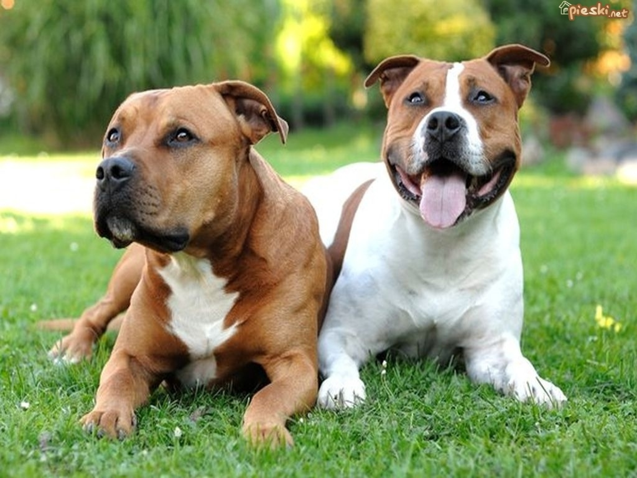 American Staffordshire Terrier History Personality Appearance