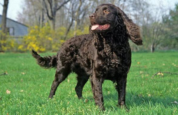 American Water Spaniel History, Personality, Appearance ... American Water Spaniel Dogtime