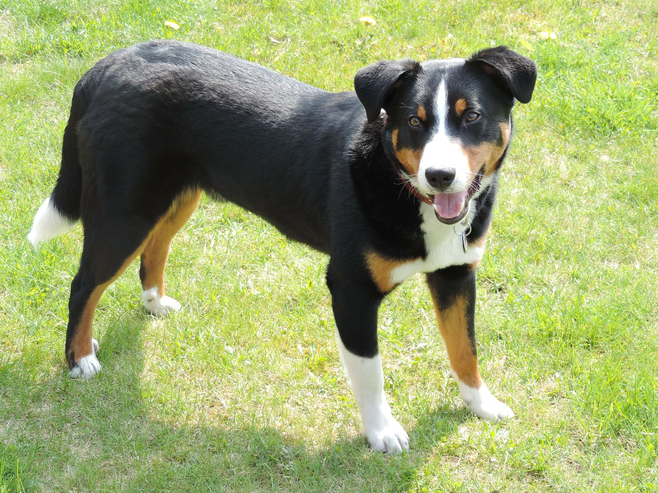 Appenzeller Sennenhund History, Personality, Appearance ...