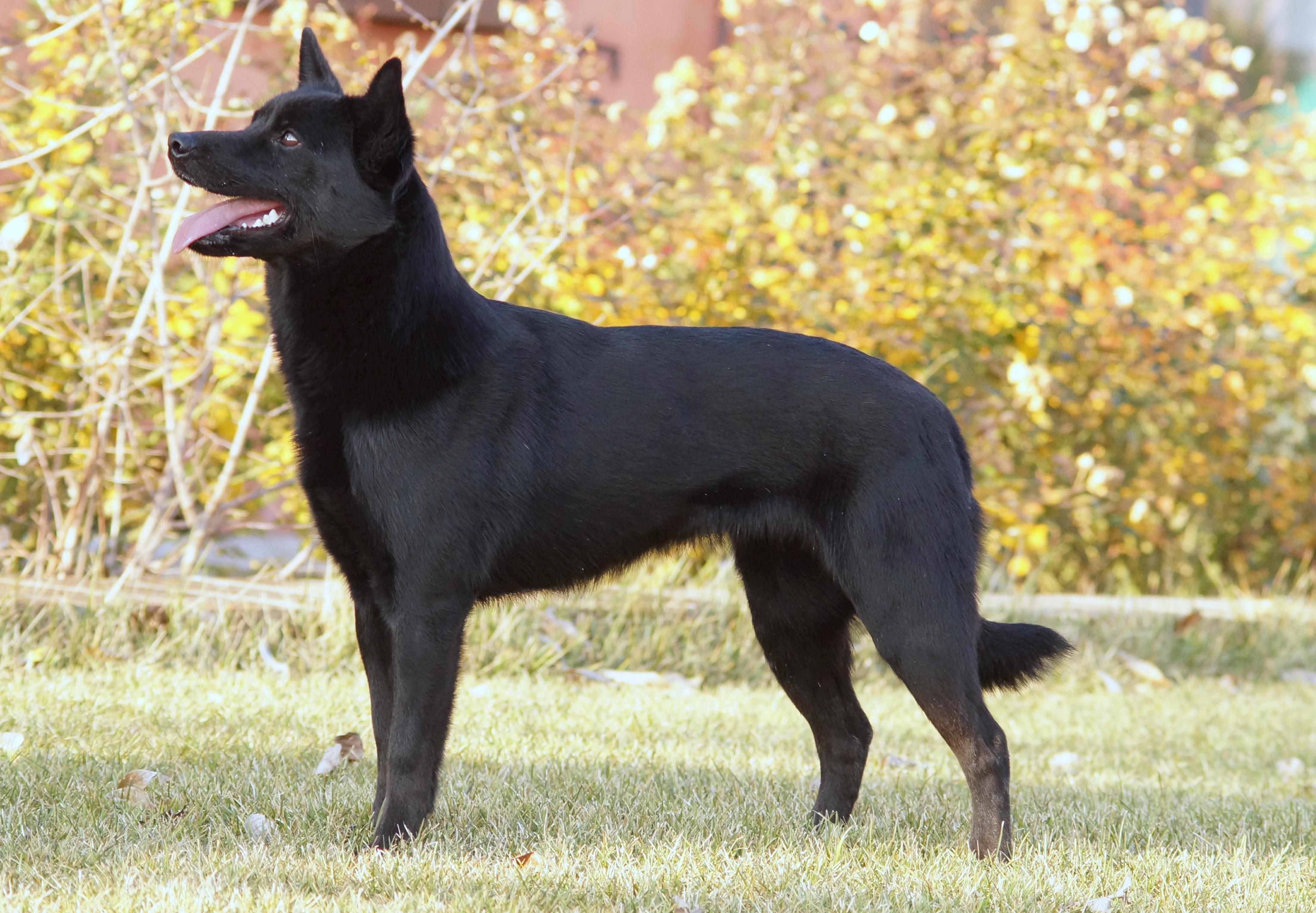 Australian Kelpie Dog Black