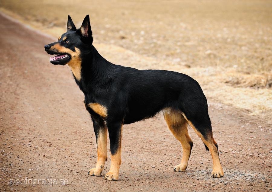 Australian Cattle Dog A Good Running Dog