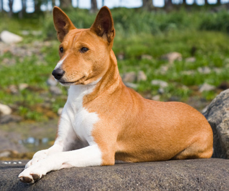 Basenji History Personality Appearance Health And Pictures
