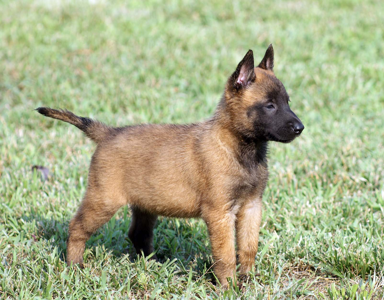 Belgian Malinois History Personality Appearance Health And Pictures