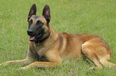 Belgian Malinois History, Personality, Appearance, Health and Pictures Otterhound Exercise