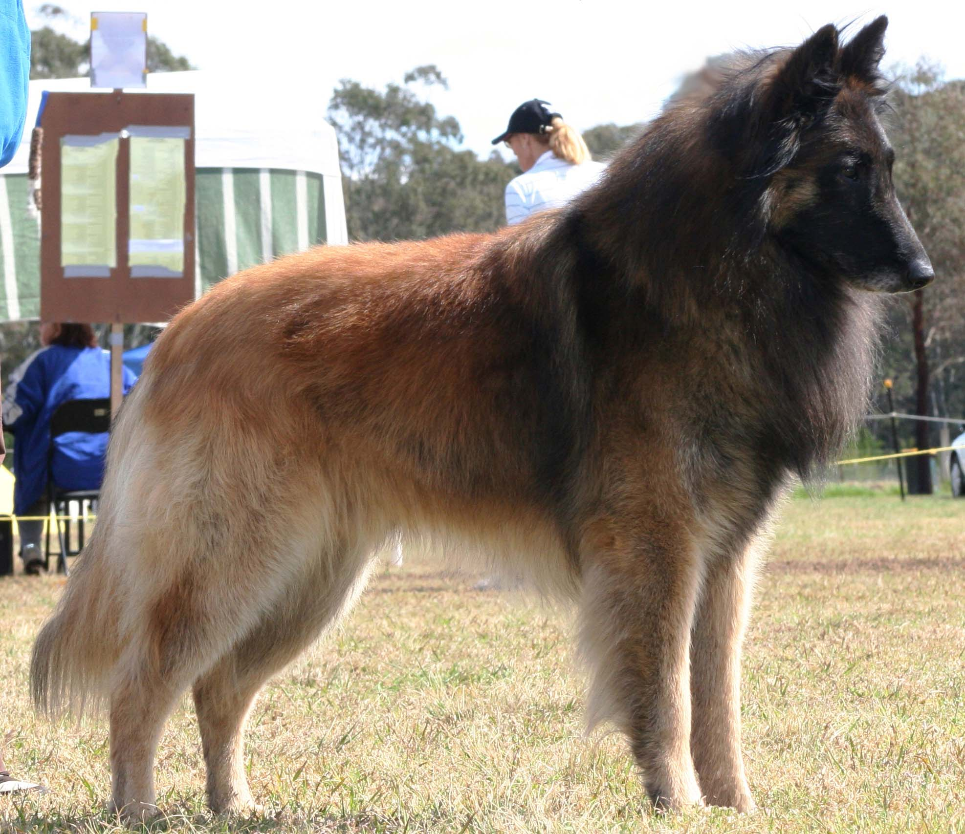 Belgian Shepherd History Personality Appearance Health And Pictures