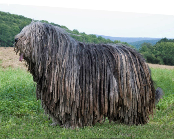 Bergamasco History Personality Appearance Health And